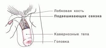 маленькая головка полового члена